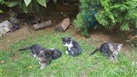 5 mace 1.5 muajsh *falas*