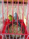 Shiten papagallat