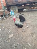 Shabo  bojm  ndrrim edhe me pula