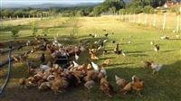 Shes pula te fshatit me shumic dhe pakic