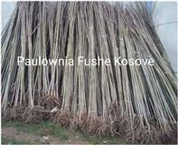 Paulownia Fushe Kosove
