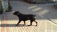 Qen Rottweiler
