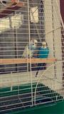Shes dy papagaj shtepiak