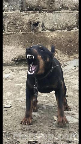 Terrier-original-