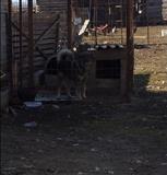 Urgjent Shes qenin e sharrit 12muajsh