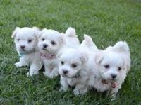 Puppies Mini Malthezer shumë të bukur. Një pjellë