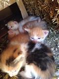 Jepen 5 maca falas per adoptim