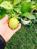 Fidan limonit