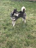 Qeni husky