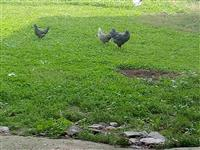 Shes pulat edhe zagart
