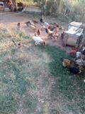 shes pula dhe zoj