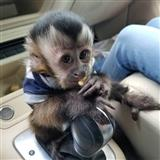 Monkeys Capuchin gati