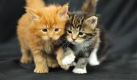 Mace e coon