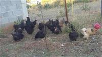 pula dhe gjela katunit