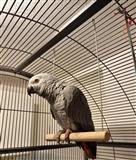 Papagall Gri Afrikan