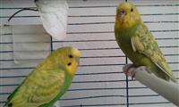 Dy papagalla