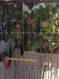 Papagaj rosela
