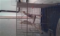 Dy papagaj