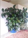 Lule Fokus 3 metra e Gjat