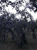 Kumbulla