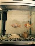 Akuarium me 3 peshq