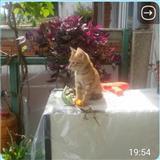 maca ne shitje