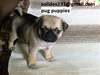 Gorgeous Teacup Pug Puppies