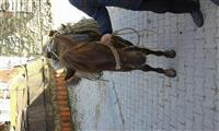 Konj za prodaju