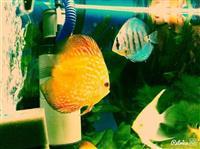 Peshqi-akuarium-discus-diskus