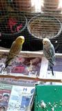 2 Papagalla qift