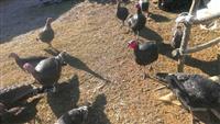 Qura dhe qurana dhe pula