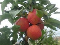 Krositjen e pemve molles dardhs etj