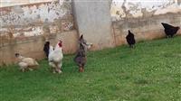 Shesim pula dhe knus