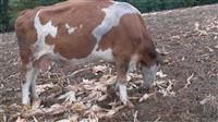Shiten lop e fermes  dhe ndrrime