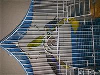 Papagajt tigrica 4 copa qift