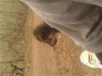 Klysh terrier