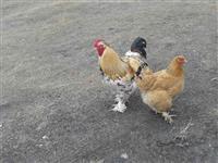 Gjela dhe pula