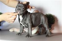 Meshkuj dhe femra bulldog puppies adoptimit