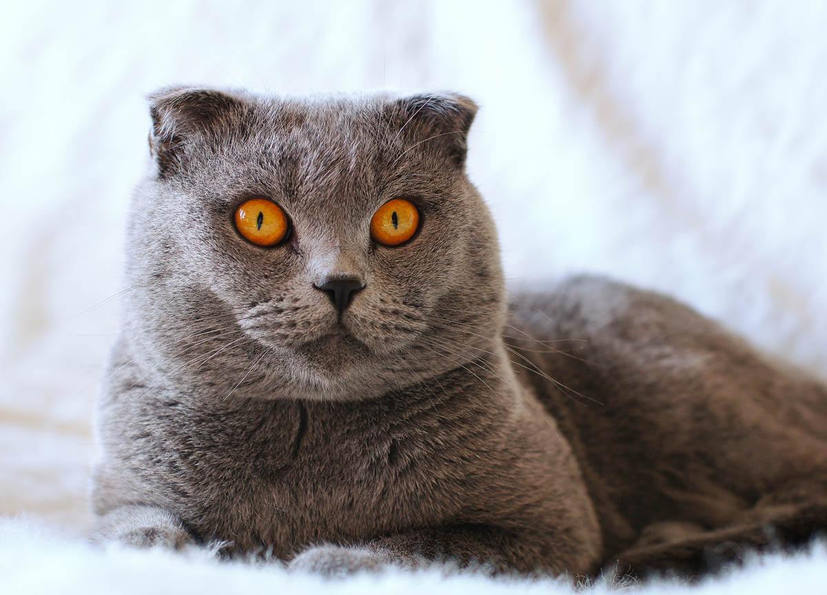 5 Racat më të mira të maceve për të jetuar në apartamente