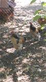 Shes pula dhe gjela