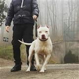American Pitbull Rednose terrier