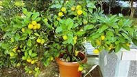 Shes Limona & Mandarina