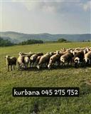 shesum kurbana