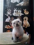 Macë Siameze