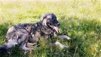 Qeni e sharit 9 muaj
