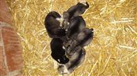 Husky kelyshe