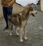 Haski ( husky ) 100% original URGJENT