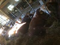 4 bika