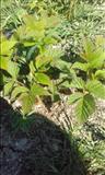 Pipa te mjedrave 1 mujore vjeshtes