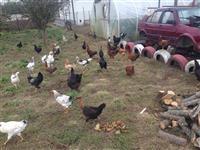 shiten pula dhe knojs